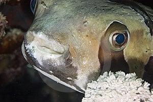 Black-blotched Porcupinefish Stock Photography - Image: 10295972