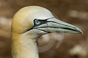 Northern Gannet Royalty Free Stock Image - Image: 10296186