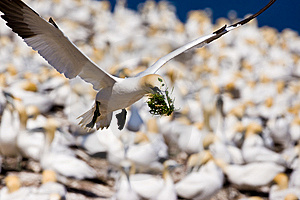Northern Gannet In Flight Stock Photos - Image: 10296193