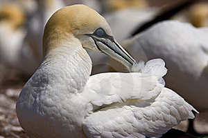 Northern Gannet Stock Photo - Image: 10296250