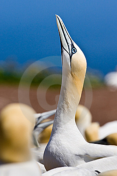 Northern Gannet Royalty Free Stock Photography - Image: 10296257