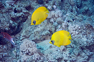 Masked Butterflyfish Royalty Free Stock Photos - Image: 10296648