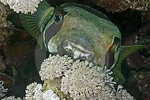 Black-blotched Porcupinefish Stock Image - Image: 10296941