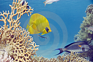 Masked Butterflyfish Stock Images - Image: 10298674