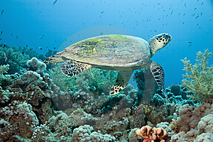 Hawksbill Turtle Royalty Free Stock Images - Image: 10298699