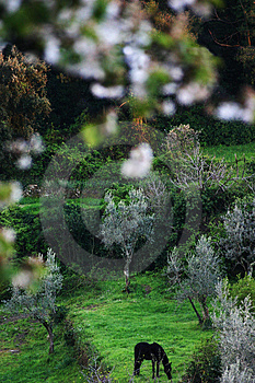 A Horse Pastures Among Olive Trees And Blossoming Apple Trees Royalty Free Stock Photo - Image: 1030575