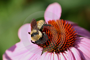 Bee On Flower Stock Photos - Image: 1031593