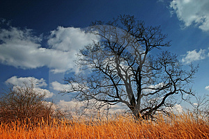 Oak Tree Royalty Free Stock Images - Image: 1032659
