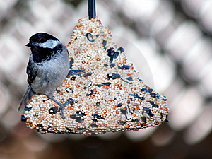 Svart Hooded Chickadee Royaltyfri Foto - Bild: 1034705