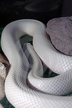 The White Snake Stock Photography - Image: 1036182