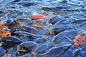 Koi Carp Fish Royalty Free Stock Photo - Image: 10303095
