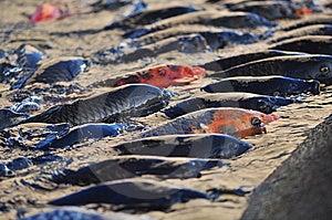 Koi Carp Fish Stock Photos - Image: 10303183