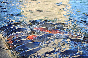 Koi Carp Fish Stock Photo - Image: 10303200