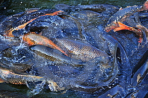 Koi Carp Fish Royalty Free Stock Photos - Image: 10303218