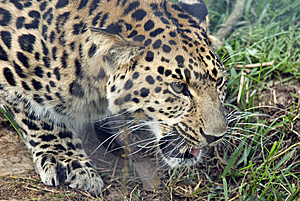 Amur Leopard Royalty Free Stock Photos - Image: 10305858