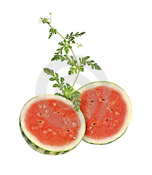 Two Watermelon Halves With Vine Royalty Free Stock Photo - Image: 10313535