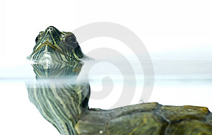 Swimming Turtle Stock Image - Image: 10314371