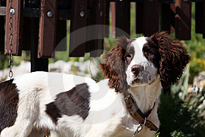Blind Dog Royalty Free Stock Photography - Image: 10315747