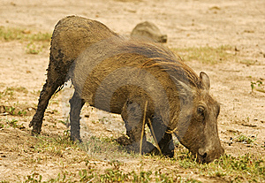Warthog Royalty Free Stock Photos - Image: 10315798