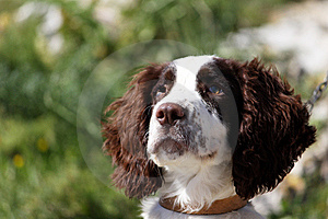 Injured Dog Royalty Free Stock Images - Image: 10315819