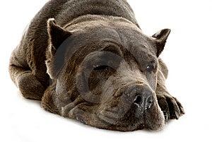 Cane Corso Dog Royalty Free Stock Photos - Image: 10323598
