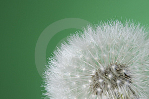 Dandelion Stock Photo - Image: 10324440