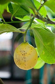 Yellow Lemon Royalty Free Stock Photography - Image: 10328847