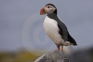 大西洋海鹦 库存照片 - 图片: 10333220