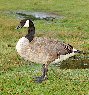 Banded Canada Goose Stock Image - Image: 10340011