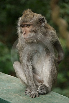Monkey Of The Monkey Forest Temple Stock Photography - Image: 10342662