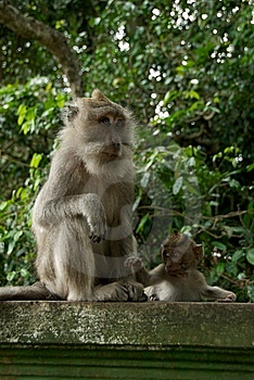 Monkey Of The Monkey Forest Temple Royalty Free Stock Images - Image: 10342679