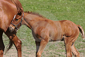 Foal 7 Royalty Free Stock Photo - Image: 10348765