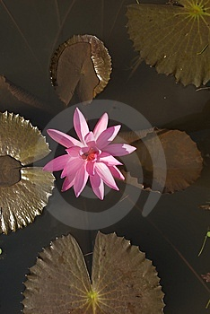 Pink Waterlily Stock Images - Image: 10350804