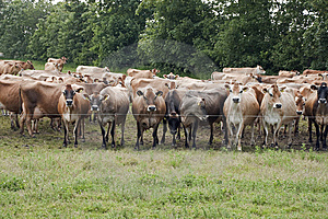 Jersey Cows Royalty Free Stock Images - Image: 10351419