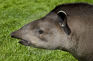 Tapir Profile Stock Photos - Image: 10351623