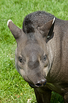 Funny Tapir Stock Images - Image: 10352184