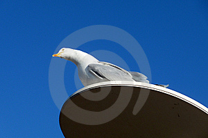 Seagull On Perch Royalty Free Stock Images - Image: 10353609