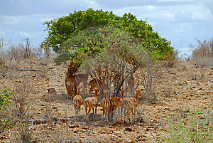 Gazelles Stock Photos - Image: 10354383