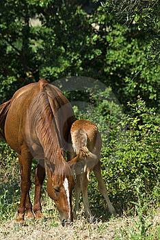 Mare And Colt Grazing Royalty Free Stock Photos - Image: 10354458
