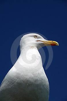 Seagull Royalty Free Stock Photography - Image: 10355087