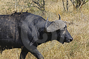 Buffalo In South Africa Royalty Free Stock Images - Image: 10355159