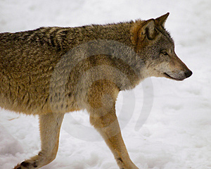 Wolf From Bialowieza / Poland Royalty Free Stock Images - Image: 1040989