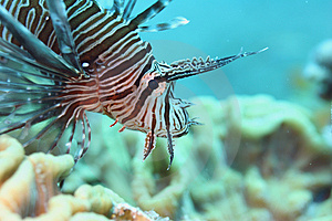 Lion Fish Royalty Free Stock Photos - Image: 1053348