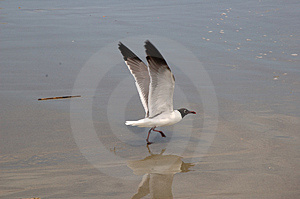 Seagull On Beach Stock Photo - Image: 1060100