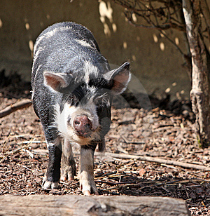 Kune Kune pig animal Stock Images
