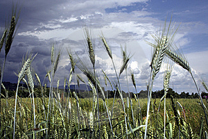 Grain Detail On A Stormy Summer Day Royalty Free Stock Photo - Image: 10891185