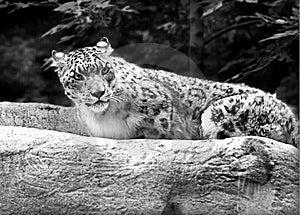 Snow Leopard Stock Photo