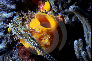 Yellow Tube Sponge On Corals Free Stock Image