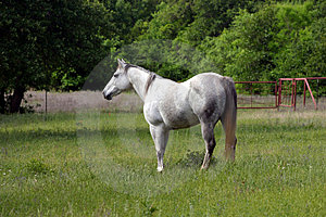 Dapple Gray Mare Royalty Free Stock Images
