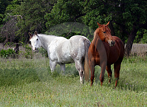 Two Horses in Spring Pasture Stock Images